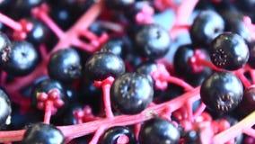 Fruta del ginseng almacen de video