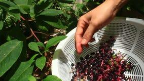 Fruta del ginseng de la cosecha almacen de metraje de vídeo