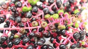 Fruta del ginseng de la cosecha almacen de video