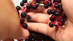 Fruta del ginseng de la cosecha metrajes