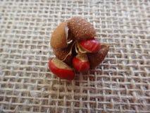 Fruta del guidonia de Guarea fotos de archivo