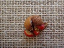 Fruta del guidonia de Guarea imágenes de archivo libres de regalías