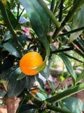 Fruta del kumquat imágenes de archivo libres de regalías