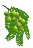 Fruta del leafflower del Emblic Imagen de archivo libre de regalías