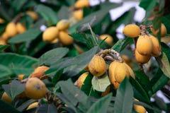 Fruta del Loquat de España foto de archivo libre de regalías