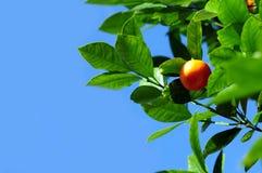 Fruta del mandarín Imagenes de archivo