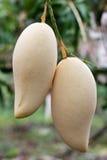 Fruta del mango en árbol Fotos de archivo