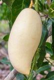 Fruta del mango en árbol Fotografía de archivo libre de regalías