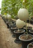fruta del melón en granja del melón Imagenes de archivo