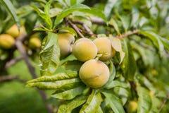 Fruta del melocotón en árbol imagen de archivo