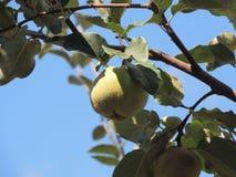 Fruta del membrillo Fotos de archivo