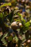 Fruta del níspero (germanica del Mespilus) Fotos de archivo libres de regalías