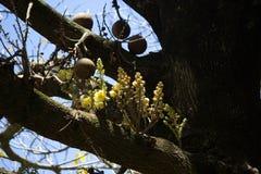 Fruta del obús con las flores Imagenes de archivo