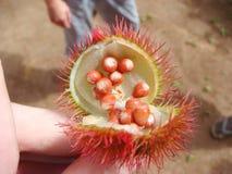 Fruta del orellana del achiote o del roucou o del achiote o del bixa en África Fotografía de archivo