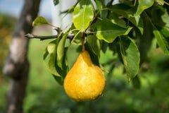 Fruta del peral Foto de archivo libre de regalías