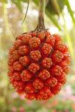 Fruta del pino de tornillo (tectorius del Pandanus) Fotos de archivo