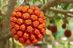 Fruta del pino de tornillo (tectorius del Pandanus) Foto de archivo libre de regalías