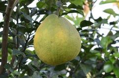Fruta del pomelo Fotos de archivo libres de regalías