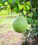 Fruta del pomelo en árbol imagen de archivo libre de regalías
