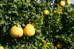 Fruta del pomelo en el árbol fotos de archivo