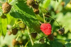 Fruta del rojo de la frambuesa Imágenes de archivo libres de regalías