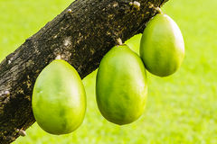 Fruta del tronco del árbol de la calabaza Fotografía de archivo