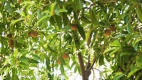 Fruta del zapote en árbol fotografía de archivo