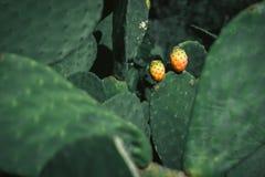 Fruta do cacto Foto de Stock