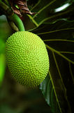 Fruta do Durian Fotos de Stock