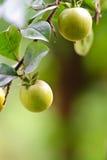 Fruta do Kumquat Imagens de Stock