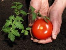 Fruta do tomate imagens de stock royalty free