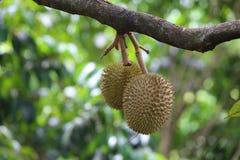 Fruta en el árbol, fruta tailandesa, Tailandia del Durian Fotos de archivo