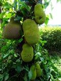 Fruta en un árbol, cierre del Durian para arriba Fotografía de archivo libre de regalías