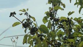 Fruta en una rama de árbol en verano metrajes
