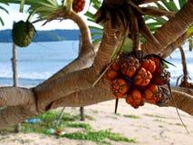 Fruta espesa de la playa de los árboles Imagenes de archivo