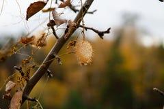 Fruta espinosa de vides, de plantas y de árboles salvajes imagen de archivo