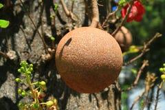Fruta exótica del albaricoque del mono Fotografía de archivo