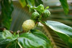 Fruta exótica - Noni imagen de archivo