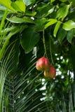 Fruta exótica y peligrosa de AKEE (sapida del Blighia) Foto de archivo libre de regalías
