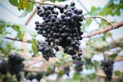Fruta fresca de la baya o de la uva en huerta, fruta limpia o fondo popular de la fruta, fruta del mercado de la huerta de la agr foto de archivo libre de regalías