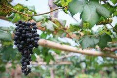 Fruta fresca de la baya o de la uva en huerta, fruta limpia o fondo popular de la fruta, fruta del mercado de la huerta de la agr foto de archivo