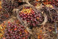 Fruta fresca de la palma de aceite en el árbol Foto de archivo libre de regalías