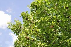 fruta fresca madura de la cereza en la rama de un árbol y rodeada por un día soleado Imagen de archivo