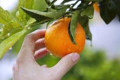 Fruta humana de la explotación agrícola de la mano del árbol anaranjado Fotografía de archivo