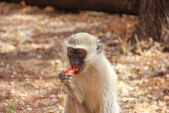 Fruta humana del mono que introduce Fotos de archivo libres de regalías
