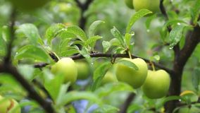 Fruta inmadura del ciruelo verde después de la lluvia
