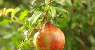 Fruta inmadura del pomegrenade de mano almacen de metraje de vídeo
