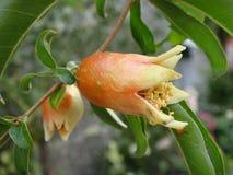 Fruta joven de la granada Fotografía de archivo libre de regalías