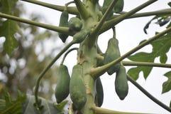 Fruta joven de la papaya todavía que cuelga en el árbol fotos de archivo libres de regalías