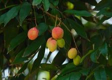 Fruta: litchi Imagens de Stock